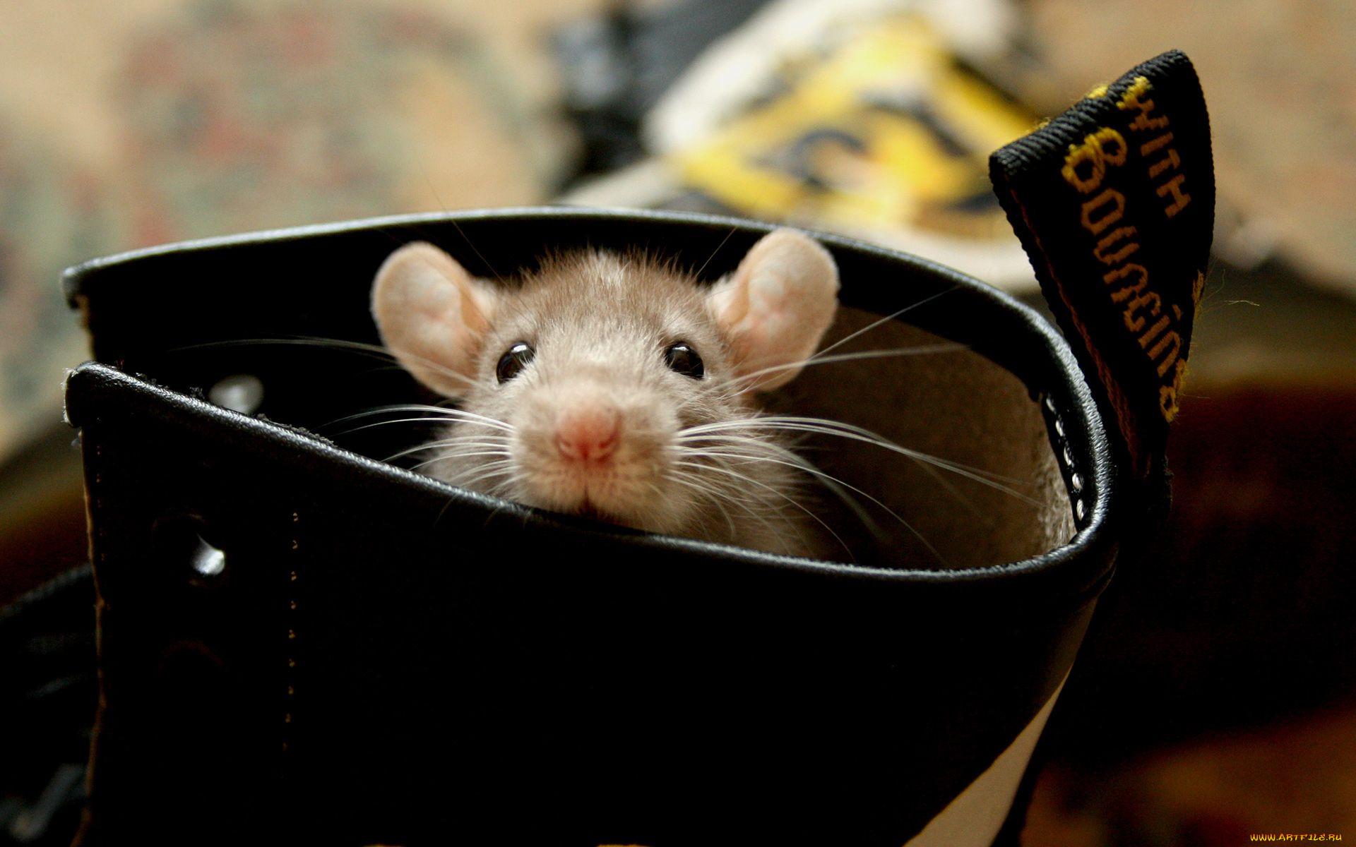 фото картинки с мышью крысой